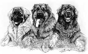drawing of male Leonberger